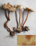 Gymnopus aquosus (inset cystidia)  CarltonWood Aug-11 HW