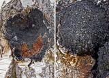 Inonotus obliquus Birch SherwoodForest Apr-09 RR