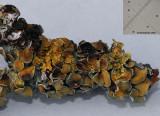Xanthoriicola physciae on Xanthoria parietina ANR Dec-12 RR