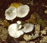 Tricholoma terreum Grey Knight University 11-9-82 HF