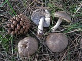 Tricholoma terreum with pines Scofton Jan-12 HW
