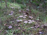 Tricholoma virgatum Ashen Knight BestwoodCP 10-05 AW