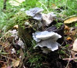 Tyromyces caesia BurntstumpCP 12-02 AW