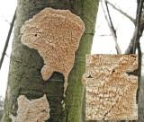 Schizopora paradoxa on dead br-leaf trunk Carlton Wood Feb-09 HW