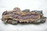 Stereum gausapatum on oak Hannah Pk Wood Feb-09 Howard Williams