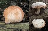 Rhodotus palmatus on elm Kirton Wood Nov-10 RR