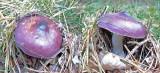 Russula caerulea Budby Sep-10 Howard Williams
