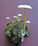 Collybia cirrhata Piggyback Shanklet Budby 11-05 AW