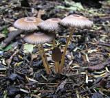 Coprinus auricomus TrentHouseGarden 08-05 AW