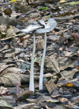 Coprinus lagopus Hare's Foot Inkcap WoodChips AttenboroughNR 13-10-07 RR.jpg
