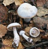 Cortinarius alboviolaceus Pearly Webcap BestwoodCP 17-10-07 RR