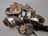 Crepidotus luteolus on twig Carlton Wood Jan-12 HW
