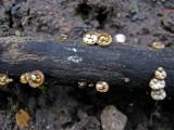 Crucibulum laeve Carlton Wood  C-in-L Jan-11