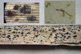 Cladosporium macrocarpum on Typha plus conidiophore & spores Langold Lake Jan-11 HW