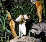 Helvella crispa White Saddle 1 University 30-8-84 HF