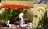 Hemimycena tortuosa Dewdrop Bonnet LangoldCP 01-08 HW