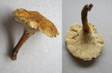 Hygrophoropsis pallida Walesby Scout Camp Oct-11 HW