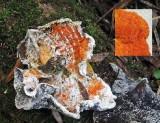 Hypomyces aurantius on decaying polypore AttenboroughNR 17-11-07 RR
