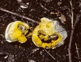 Hypomyces chrysospermum attacking Boletus chrysenteron University 15-9-82 HF