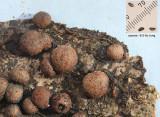 Hypoxylon howeianum on oak with Nectria episphaeria CuckneyHayWood Apr-10 RR.jpg