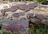 Hypoxylon petriniae Rusty Woodwart on ash BarrowHills 06-06 HW