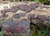 Hypoxylon rubiginosum Rusty Woodwart on ash BarrowHills 06-06 HW