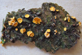 Lachnellula subtilissima on pine CuckneyHayWood Howard Williams