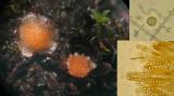 Lamprospora crouanii on moss BestwoodCP Nov-12-HW