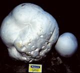 Langermannia gigantea Giant Puffball  University 19-8-84 HF