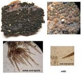 Lasiosphaeria canescens Dyscarr Wood Mar-11 Howard Williams