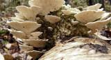 Lenzites betulinus BestwoodCP Nov-09 Howard Williams