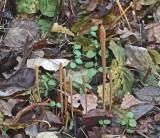 Macrotyphula fistulosa Pipe Club BestwoodCP Nov-09 RR