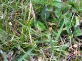 Marasmius curreyi (graminum) TrentHouseGarden 08-06 AW
