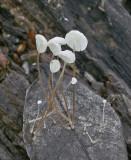 Marasmius epiphyllus Leaf Parachute Birch SellersWood 1-1-07 RR