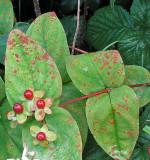 Melampsora hypericorum on Hypericum androsaemum ANR Jul-07 RR