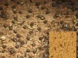 Melanomma pulvis-pyrius on broadleaf wood BestwoodCP 09-07 HW