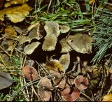 Melanophylum echinatum Dapperling University 12-11-83 HF