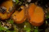 Melastiza cornubiensis Clumber Park Oct-11 John Leach