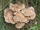 Meripilus giganteus Giant Polypore HannahParkWood 13-9-07 RR