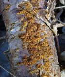 Phellinus ferruginosus Rusty Porecrust on birch 100AcreWood 01-06 HW