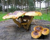 Pholiota adiposa Scalycap HaywoodOaks 2006 AW