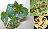 Phragmidium mucronatum on rose leaf + teliospores under leaf and at x400 HW