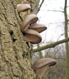 Pleurotus ostreatus Oyster Fungus on oak Lound Mar-10 Howard Williams