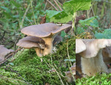 Pleurotus ostreatus Oyster mushroom Willow AttenboroughNR 14-12-06 RR