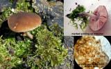 Pluteus podospileus SherwoodForest Aug-12