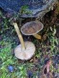 Pluteus umbrosus Velvet Shield Newstead Abbey 10-05 HW