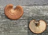 Polyporus tuberaster Tuberous Polypore 30-9-07 AW