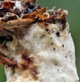 Polyporus tuberaster Tuberous Polypore Prob Beech DrinkingPitLane Sep-09 RR