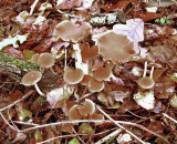 Psathyrella piluliformis SherwoodForest HowardWilliams