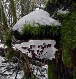 Ganoderma applantum Artists Bracket ANR Jan-13.jpg